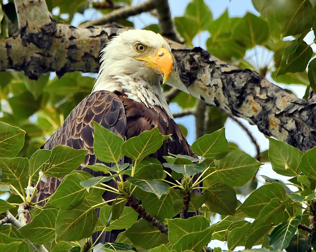 The Regal Bald Eagle