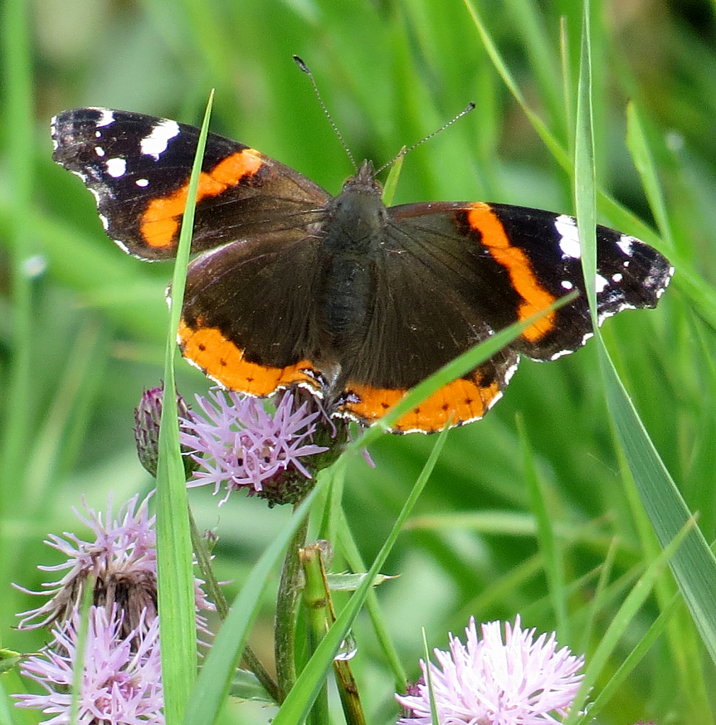 Butterfly On Clover In The Ditch