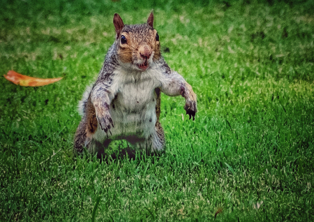 A Manly Squirrel