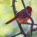 2               Cardinal 1 - ID: 15734557 © Michael L. Sonier