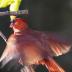 2    Cardinal 2 - ID: 15734558 © Michael L. Sonier