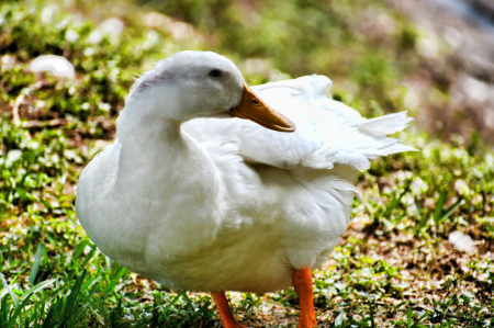 CLOSE UP OF A DUCK II