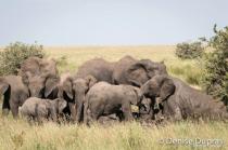 Elephant4170