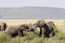 Elephant4299