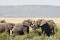 Elephant4339