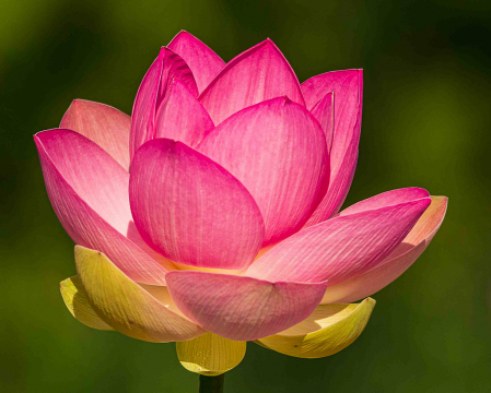 Blomming Lotus