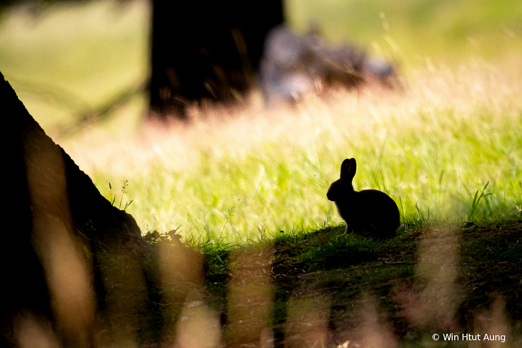The Silhouette Bunny