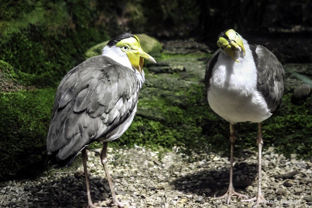 Animals - Masked Plovers