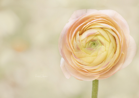 The Ranunculus