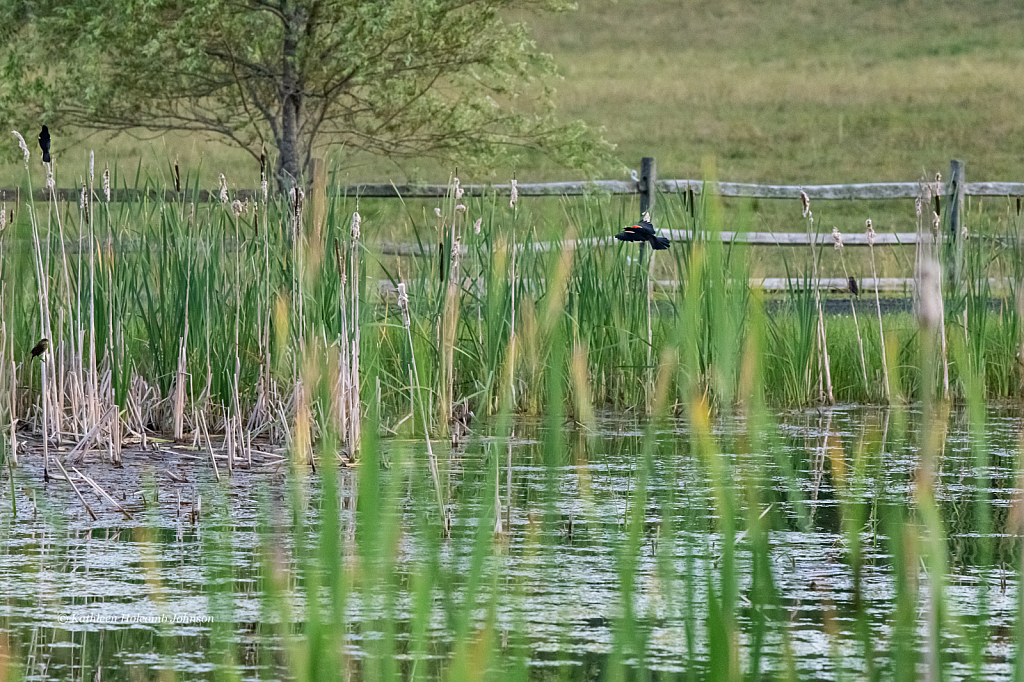 Red-wing Blackbird Habitat! - ID: 15736020 © Kathleen Holcomb Johnson