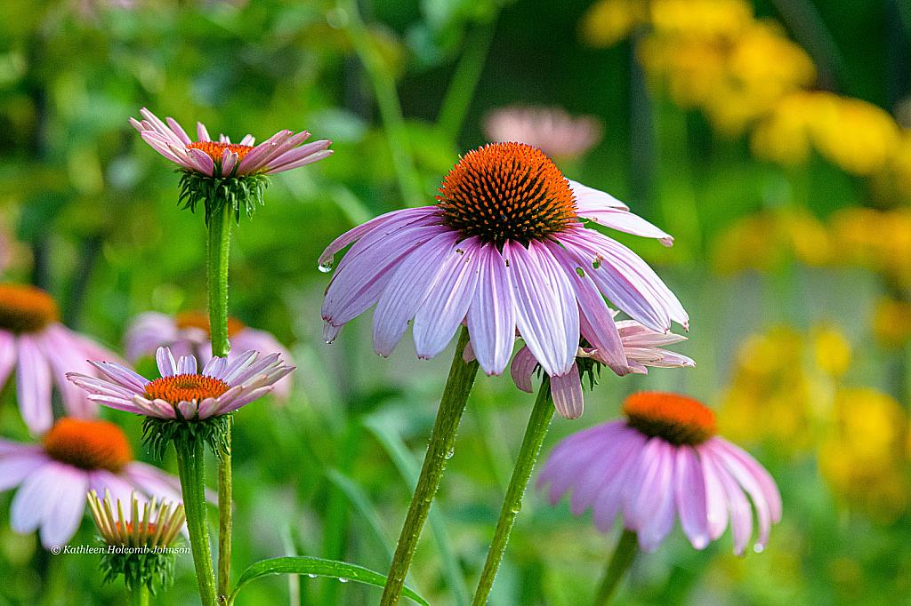 Cone Flower!! - ID: 15736024 © Kathleen Holcomb Johnson