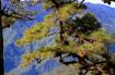 Wild Pine Tree