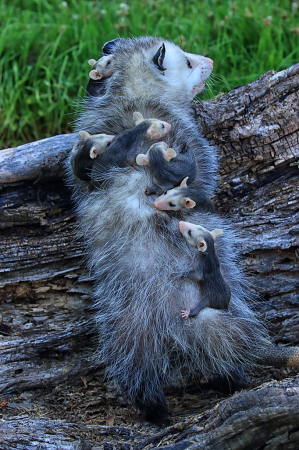 Lots of Possum Babies