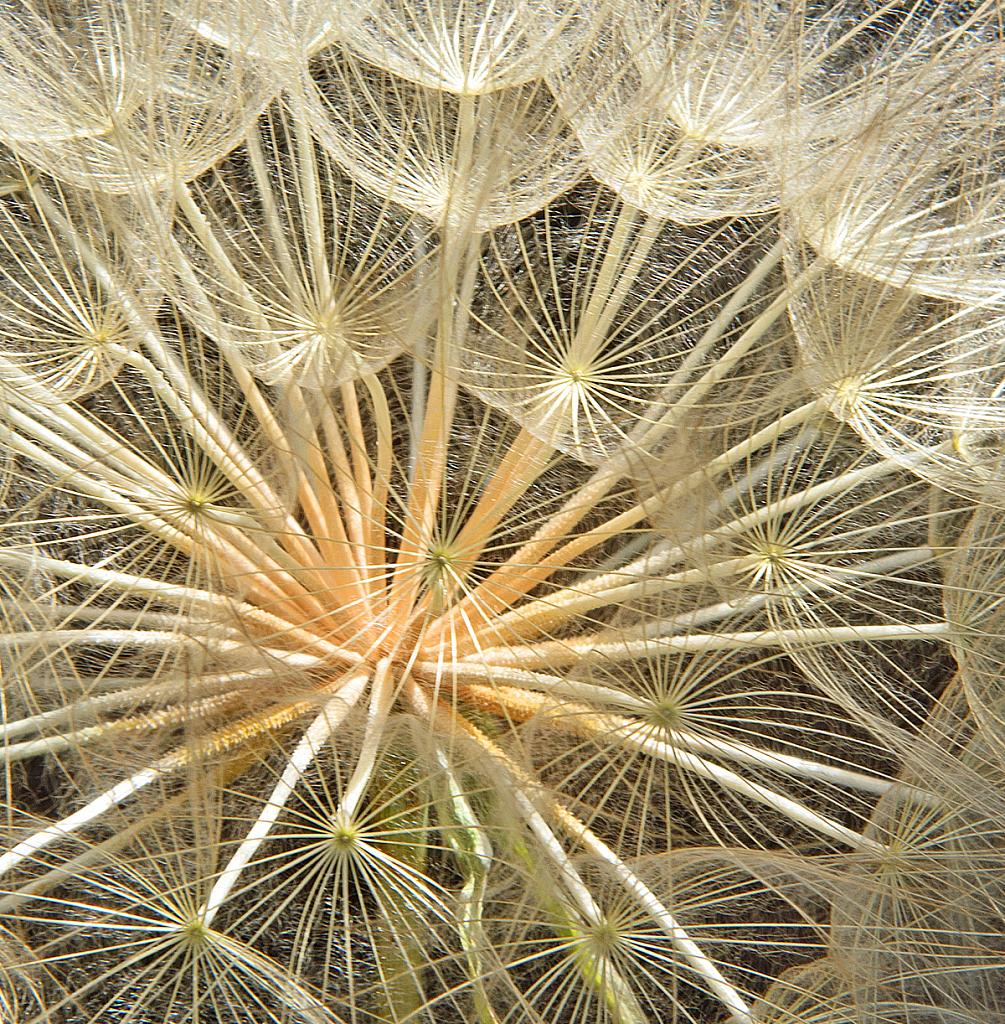 Dandelion inner structure