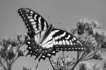 In Flight in B&W