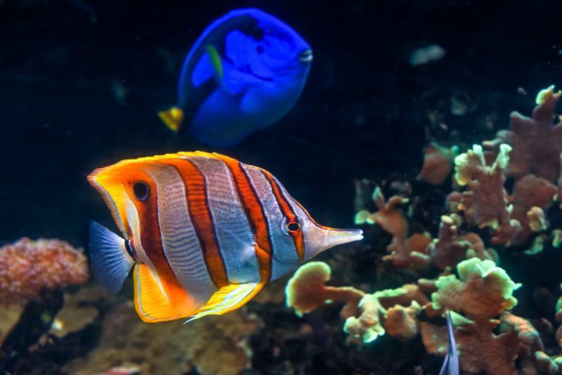 Copperband butterflyfish with regal tang