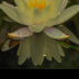 Water Lily - ID: 15736477 © Melvin Ness