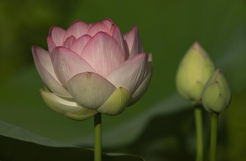 Lotus Sunshine