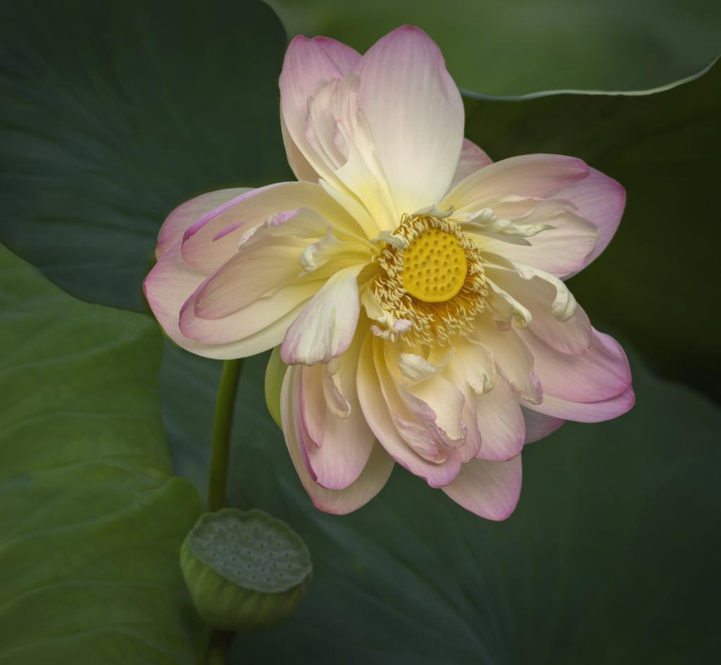 Lotus Painting