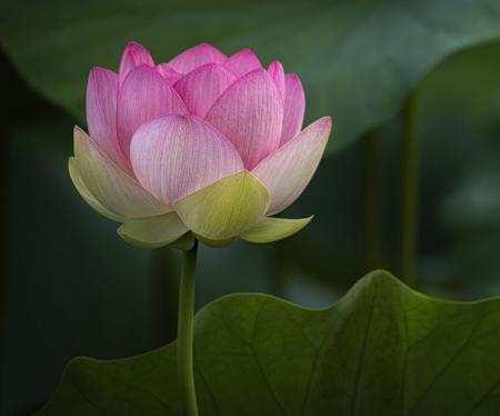 Lotus Delicate Balance