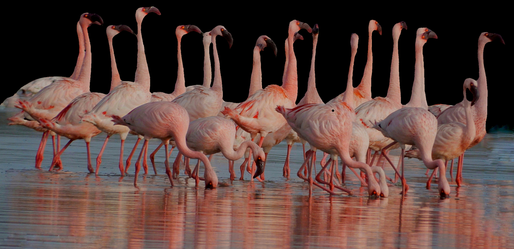 Flamingoes porbandar