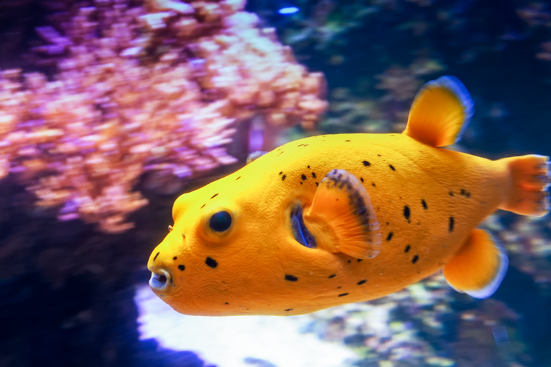 Blackspotted Puffer Swimming By The Coral