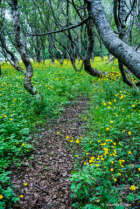 Buttercup Path