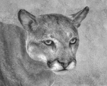 Portrait of a Panther