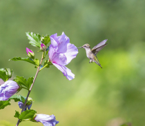 Hummingbirds with Rose of Sharon