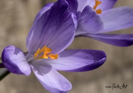 Spring Glory Crocus