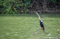 DARTER (SNAKE) BIRD