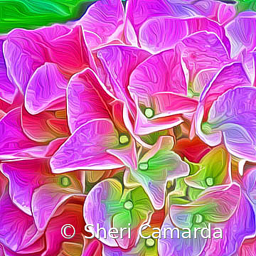 Hydrangea  - ID: 15737310 © Sheri Camarda