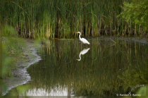 Morning with a Great Egret . .