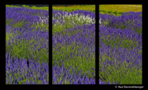 Lavender Fields- A 3 panel Composition
