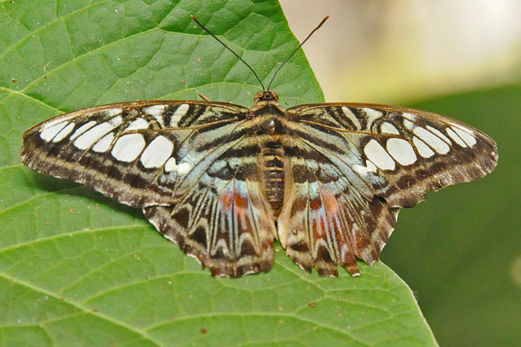 Butterfly IV  - ID: 15738407 © William S. Briggs
