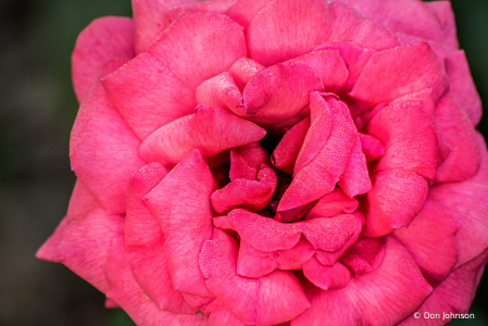 Lots of Pink 8-11-19 127