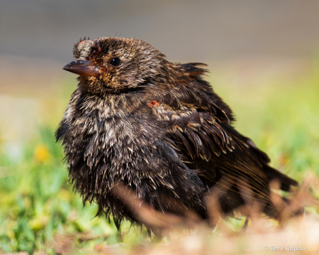 Red-winged Blackbird (Juvenile)