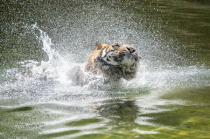 Tiger Shower