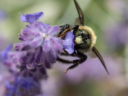 Carpenter Bee 2