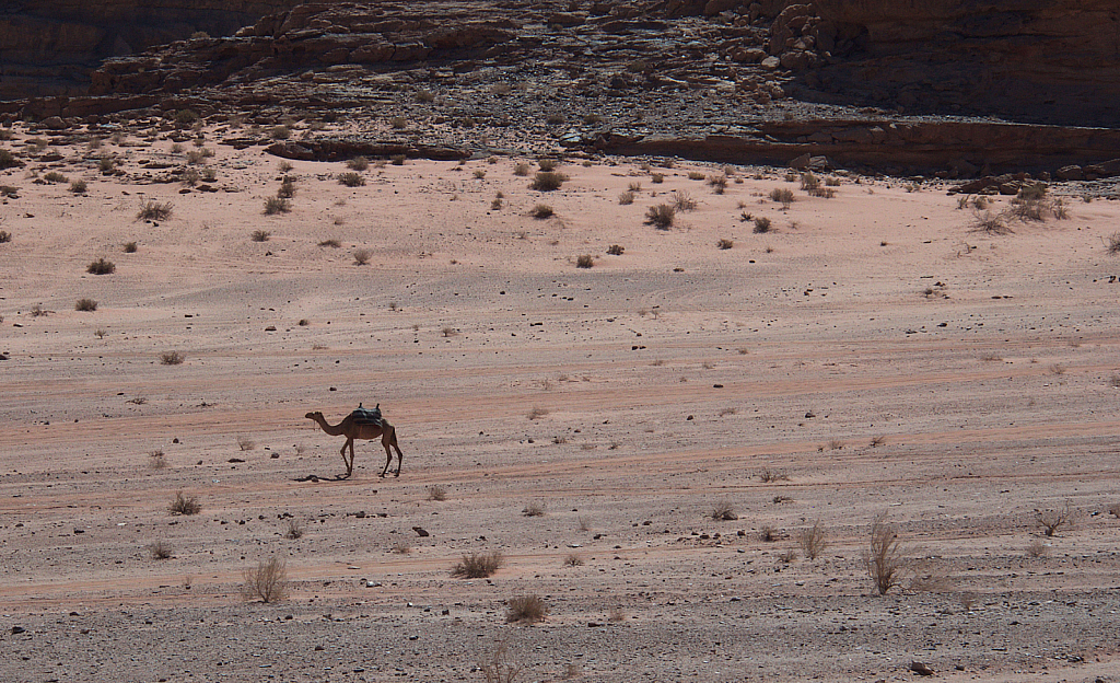 Lonely Camel at Wadi Rum - ID: 15738876 © David Resnikoff