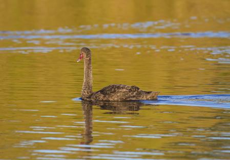 Cygnet on golden pond