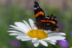 Red Admiral on Sh...