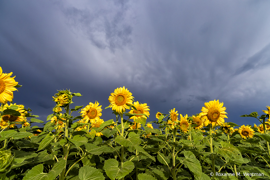 Sunflowers and storms - ID: 15739931 © Roxanne M. Westman