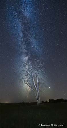 Milky Way and cottonwood tree