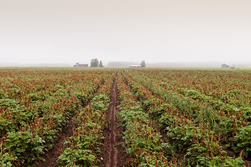 Mist And The Potato Fields