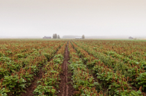 Mist And The Potato Fields