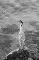 Yellow-crowned Night Heron on Watch