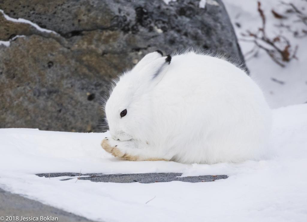 Arctic Hare - ID: 15741323 © Jessica Boklan