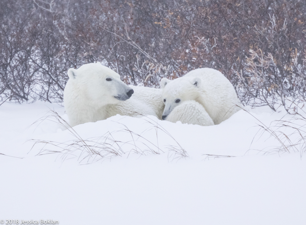Polar Bear Mom and Cub Hunkered Down in Blizzard - ID: 15741328 © Jessica Boklan