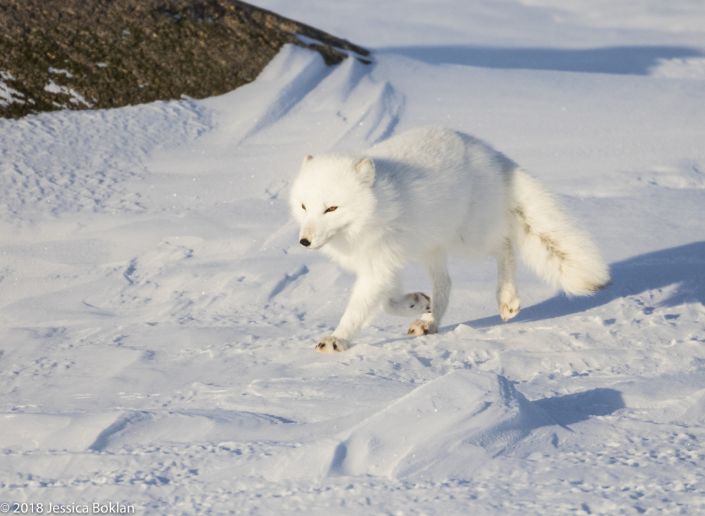 Arctic Fox - ID: 15741331 © Jessica Boklan